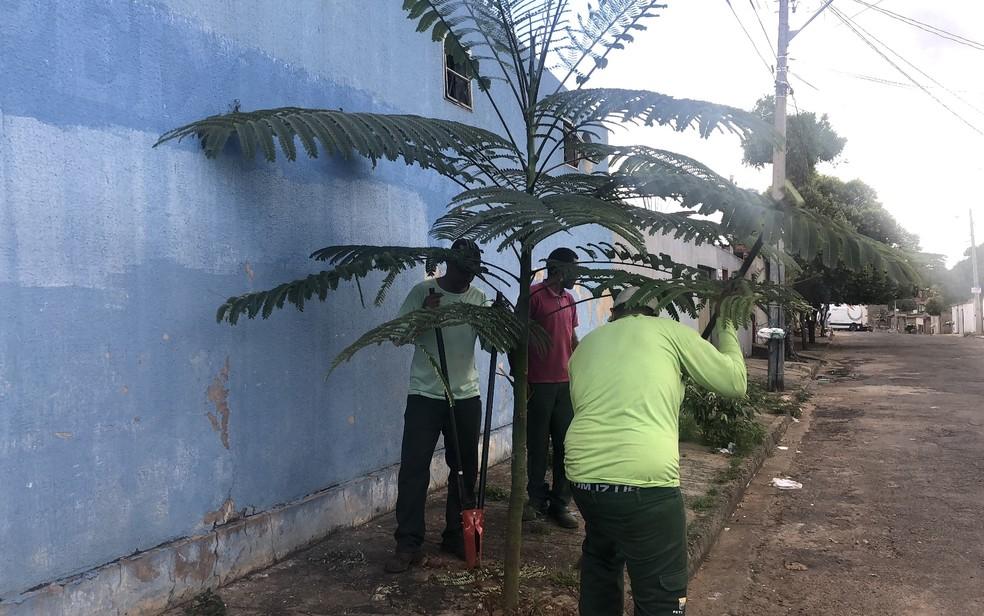 Equipe da Amma teve de retirar guapuruvu plantado em calçada porque árvore fica com 15 metros de altura — Foto: Paula Resende/ G1