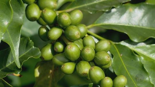 Estimativa de produção de café da Conab preocupa produtores do Sul de Minas