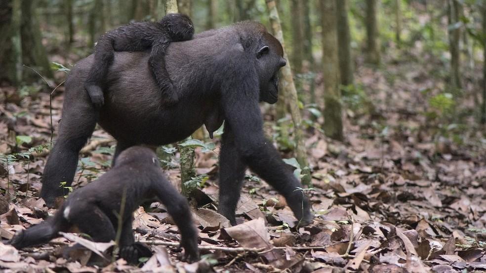 Os cientistas acreditam que as fêmeas optam por se acasalar com machos com base nessas interações — Foto: TERENCE FUH NEBA, WWF CENTRAL AFRICAN REPUBLIC/BBC