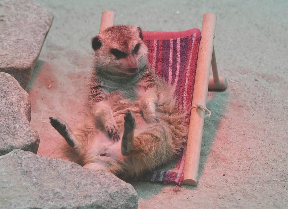 Suricata ganha minicadeira de praia em zoo na Alemanha (Foto: Uli Deck/dpa via AP)