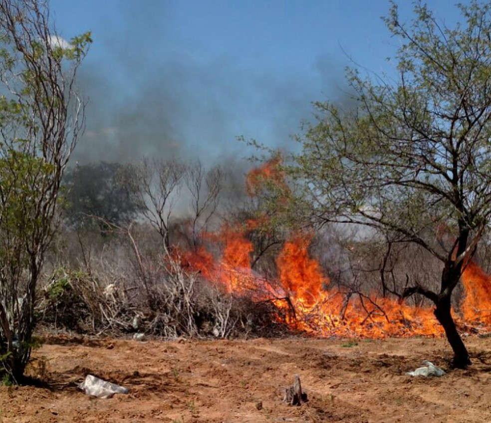 Plantação de maconha foi queimada em Juazeiro (Foto: Divulgação/Polícia Civil)