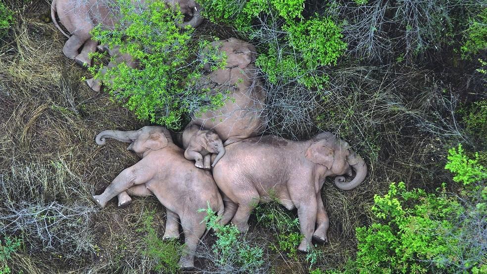 A soneca dos elefantes que atravessam parte da China — Foto: Reprodução/BBC