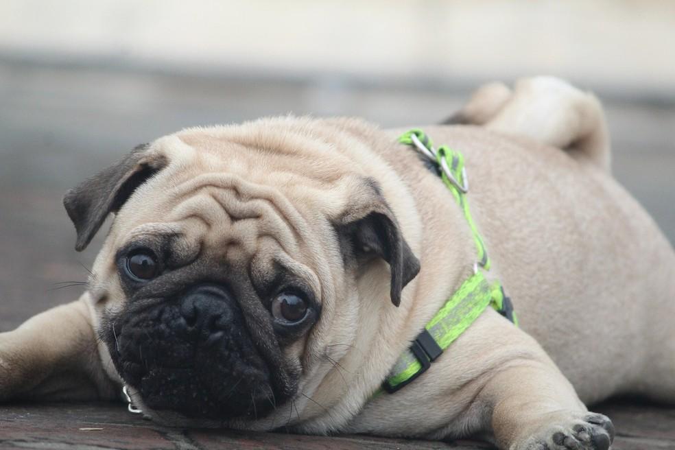 Cães da raça pug têm o crânio pequeno em relação aos olhos (Foto: Divulgação)