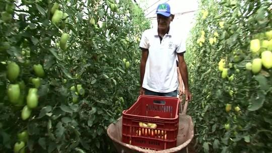Iraquiano deixa Bagdá pra tentar a vida com produção de tomate no Paraná