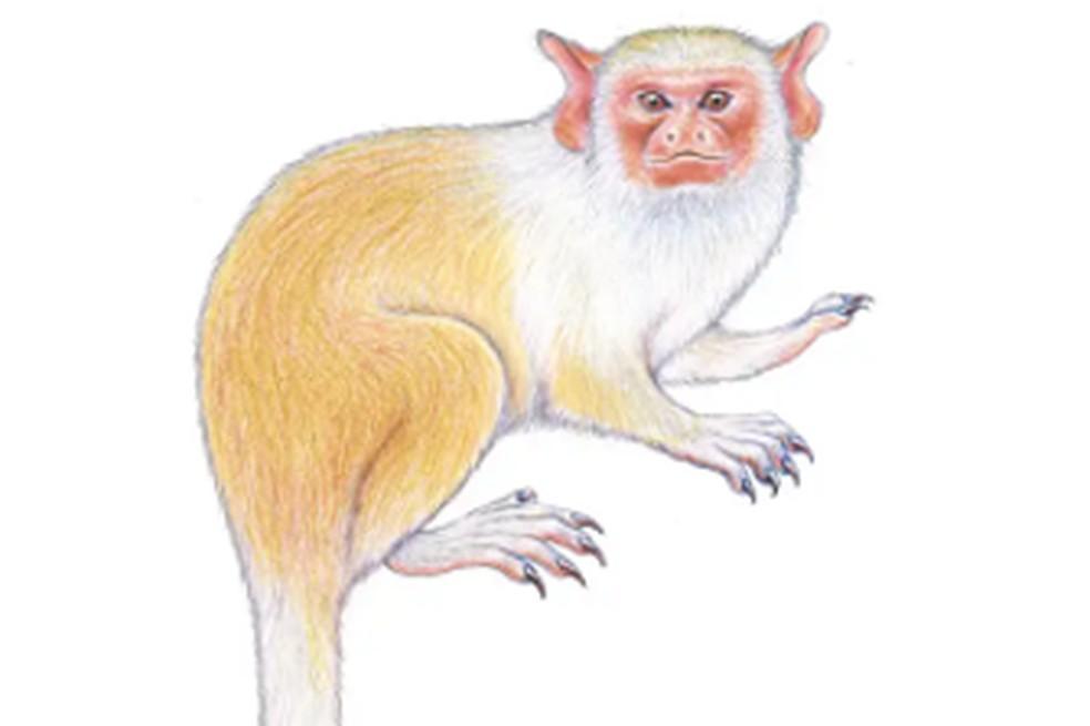 Ilustração da nova espécie descoberta no Pará — Foto: Reprodução