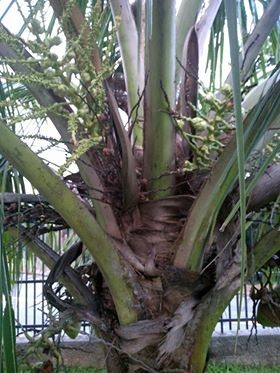 gr-responde-coqueiro-coco-praga (Foto: Jeane Scheurich/Arquivo Pessoal)
