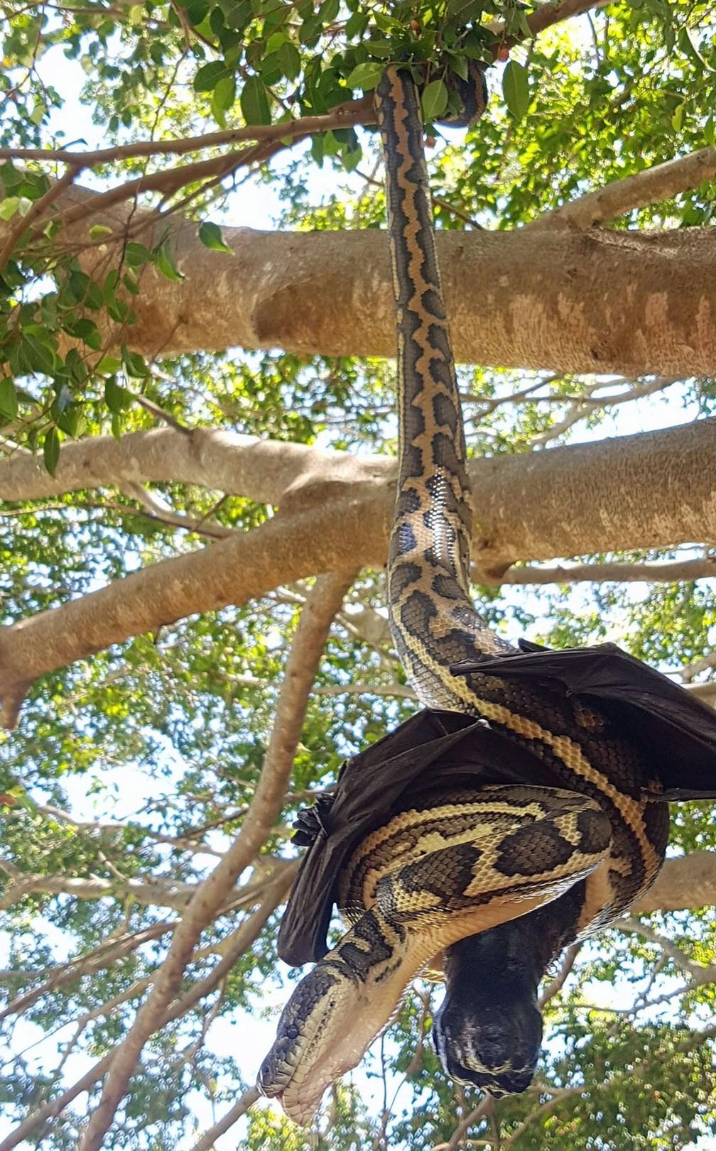 Cobra tenta comer morcego na Austrália (Foto: Reprodução/Facebook/Redland's Snake Catcher)