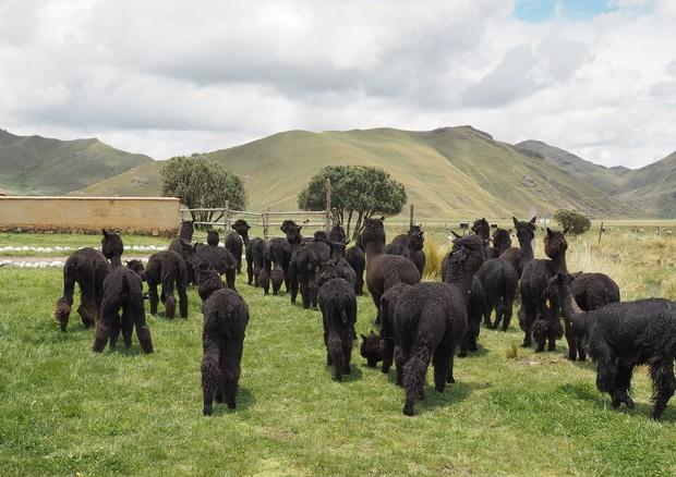 Uma das fazendas que respeitam o bem-estar animal e que fornece lã para a No Frills (Foto: Reprodução)