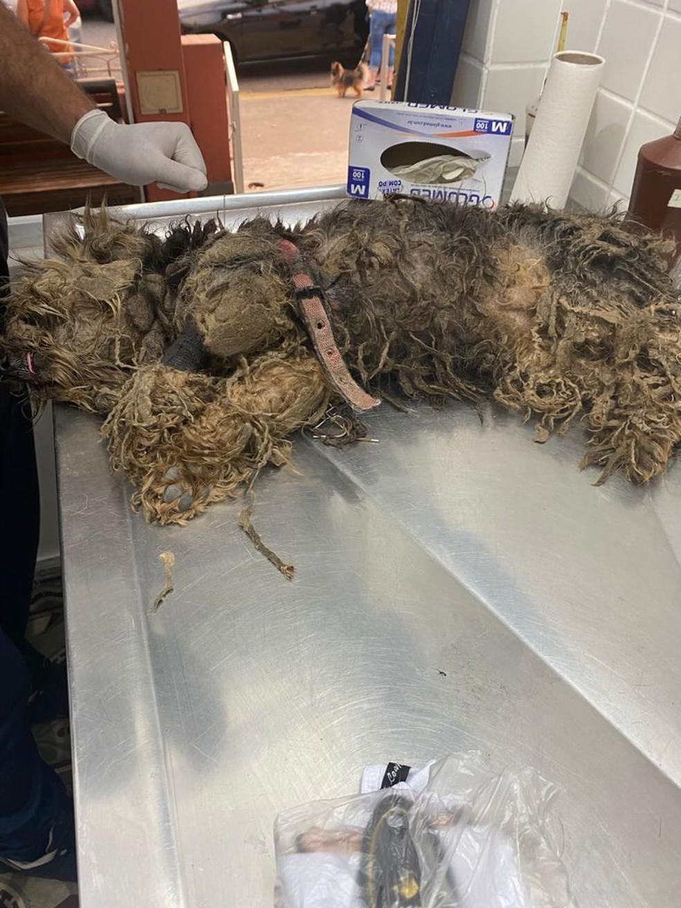 Coleira estava grudada ao pelo da cadela resgatada em São Vicente, SP, deixando feridas abertas após ser retirada — Foto: Divulgação/ONG Viva Bicho Santos