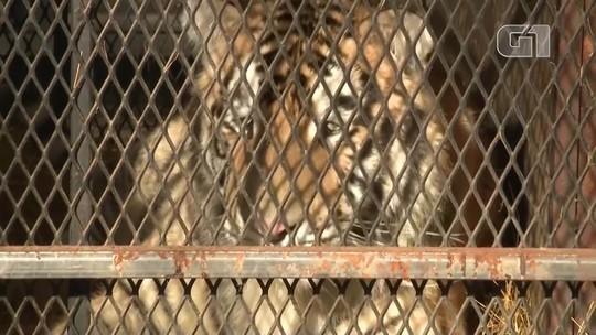 Tigre é encontrado em casa abandonada nos Estados Unidos