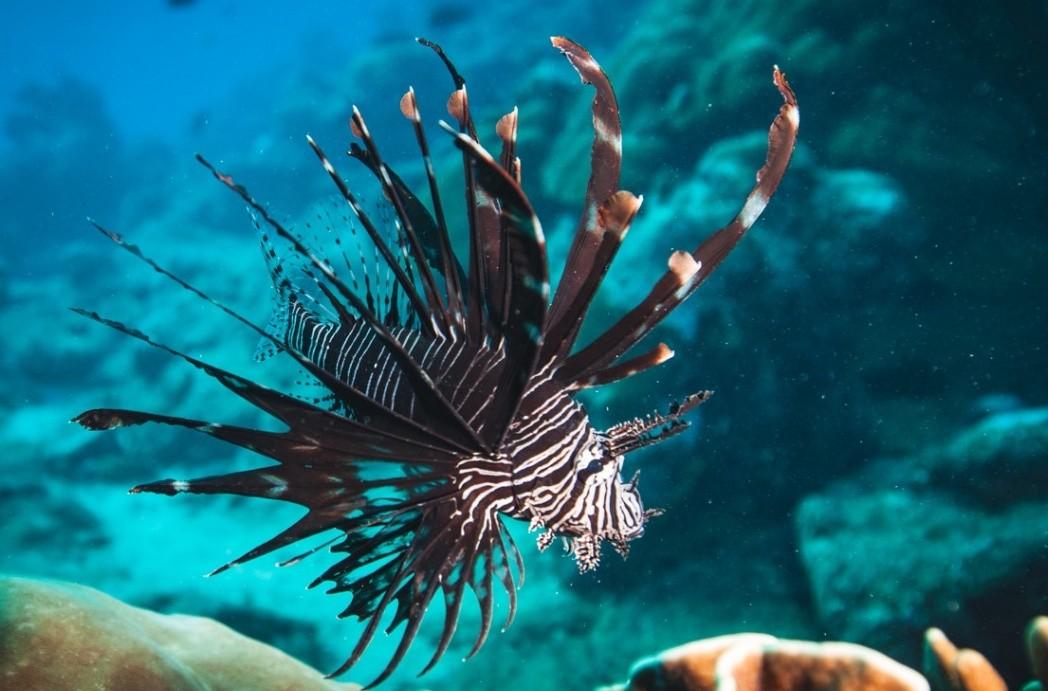 Especialista que atua no Caribe capacita mergulhadores para capturar peixe invasor venenoso em Fernando de Noronha