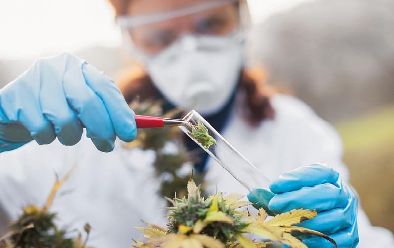 a cannabis, que não dá barato, tem uso medicinal, industrial e mercado crescente. O país tem solo  e clima propícios para a planta,  mas o cultivo é proibido   (Foto: Getty Images)