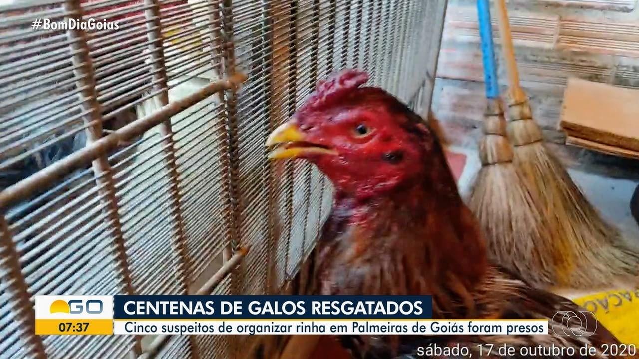 Policiais encontram rinha de galo sendo realizada em Palmeiras de Goiás
