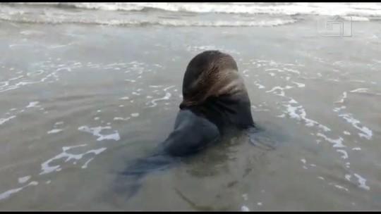 Moradores flagram lobo-marinho descansando em praia de Matinhos