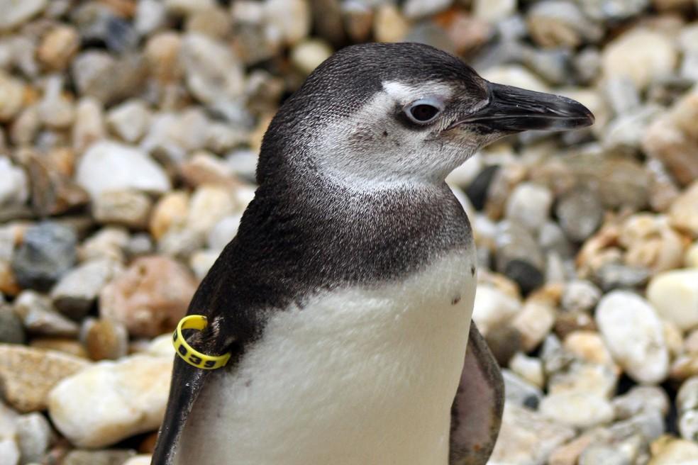Pinguim-de-Magalhães resgatado em Florianópolis — Foto: Nilson Coelho/Divulgação