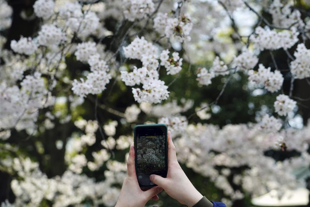 Pessoa tira foto de flores de cerejeira em 26 de março em Tóquio. Especialistas apontam que fenômeno ocorreu mais cedo no Japão em 2021 devido às mudanças climáticas — Foto: Eugene Hoshiko/AP