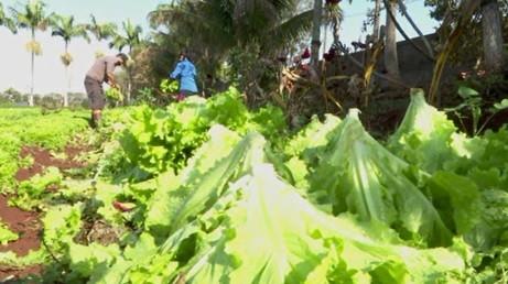 Agricultores antecipam colheitas de hortaliças e cobrem produção para tentar reduzir prejuízos com a geada