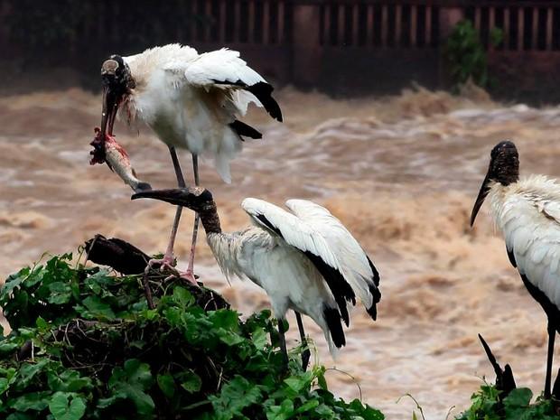 Aves migratórias 'brigam' por peixe no Rio Piracicaba (Foto: Mateus Medeiros/Arquivo pessoal)