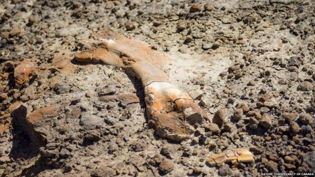 Fósseis descobertos por Nathan pertenciam a um hadrossauro — Foto: Nature Conservancy of Canada via BBC