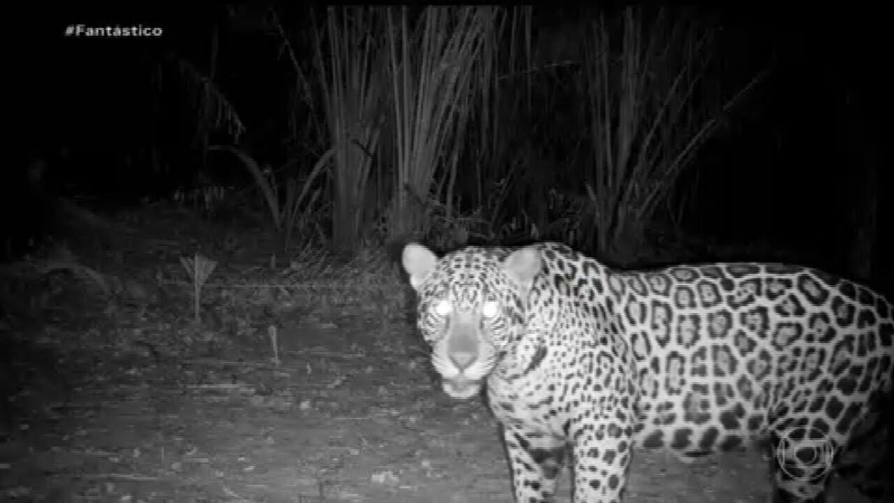 Câmeras especiais flagram os animais que resistiram às queimadas no Pantanal
