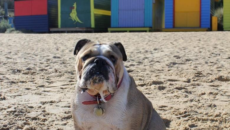 bertie-cachorro-cadela-australia-Brighton-Beach (Foto: DivulgaçãoArquivo Pessoal/ Lucas Mccure)