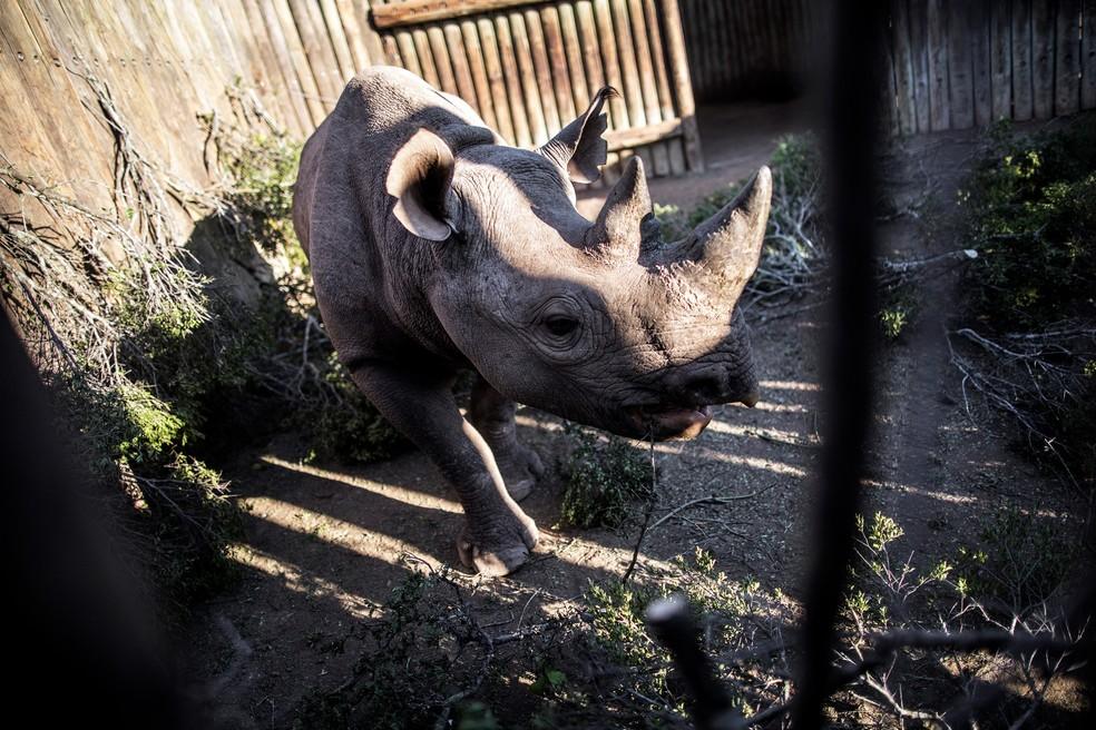 Os rinocerontes-negros selvagens, quatro fêmeas e dois machos, saíram do aeroporto de Port Elizabeth, na costa sul-africana, para uma viagem de 4.800 quilômetros até o Parque Nacional de Zakouma, no Chade. (Foto: Gianluigi Guercia/AFP)