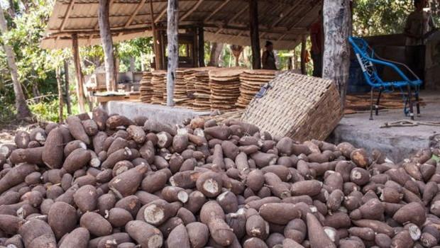 Dificuldades logísticas: é mais barato importar mandioca do Paraná que comprar localmente no Maranhão (Foto: Dubes Sonego Junior/via BBC News Brasil)