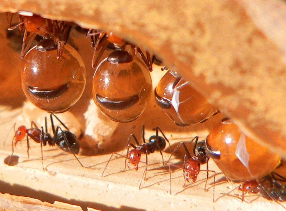 Formiga-pote-de-mel (Foto: Reprodução/ YouTube)