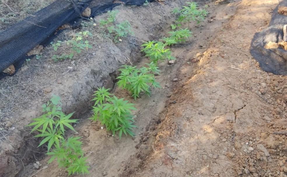 Parte da plantação de maconha encontrada em Casa Nova, no norte da Bahia — Foto: Divulgação/Polícia Civil