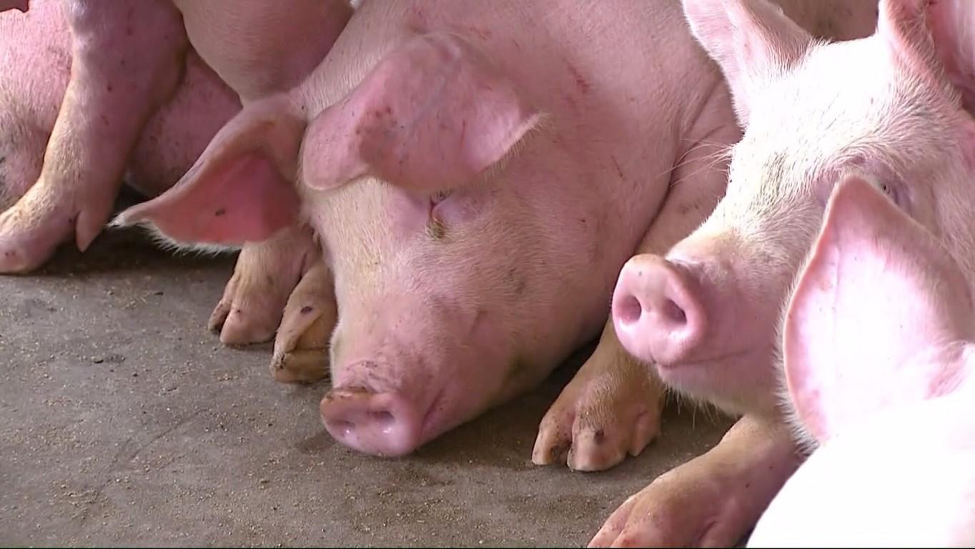 Exportação brasileira de carne suína cresce 11,5% até agosto