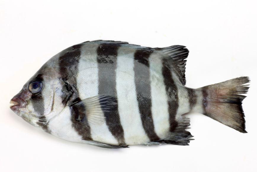 Ishidai, o peixe viajante.  (Foto: Wikipedia)