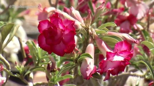 Casal constrói negócio produzindo rosas do deserto após ganhar uma de presente de casamento
