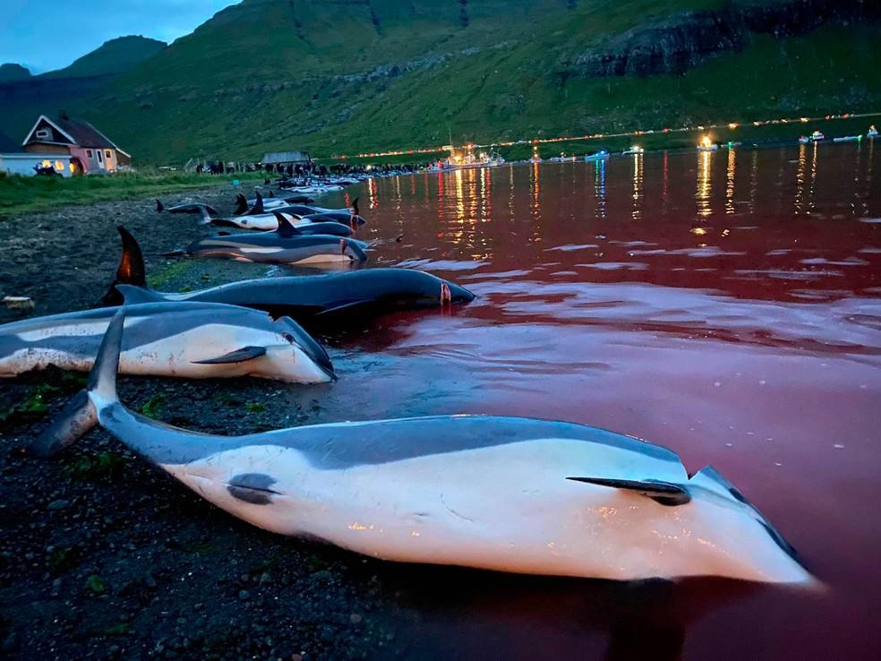 Imagens divulgadas pela Sea Shepherd Conservation Society mostram matança de golfinhos nas Ilhas Faroé. — Foto: Sea Shepherd Conservation Society/via AP