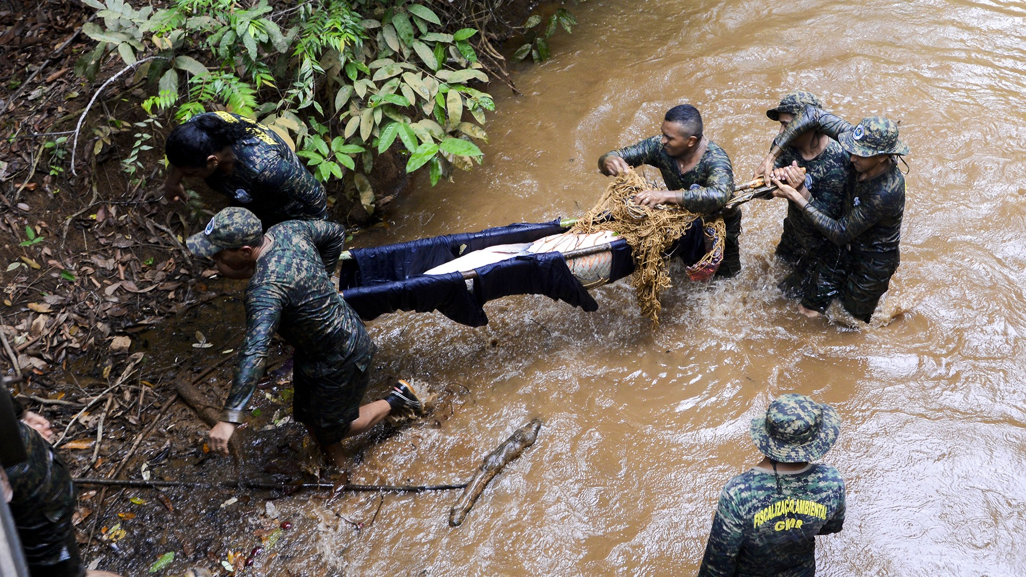 Pirarucu com 80 kg é resgatado de córrego e solto na represa do Parque Cesamar - Notícias - Plantão Diário