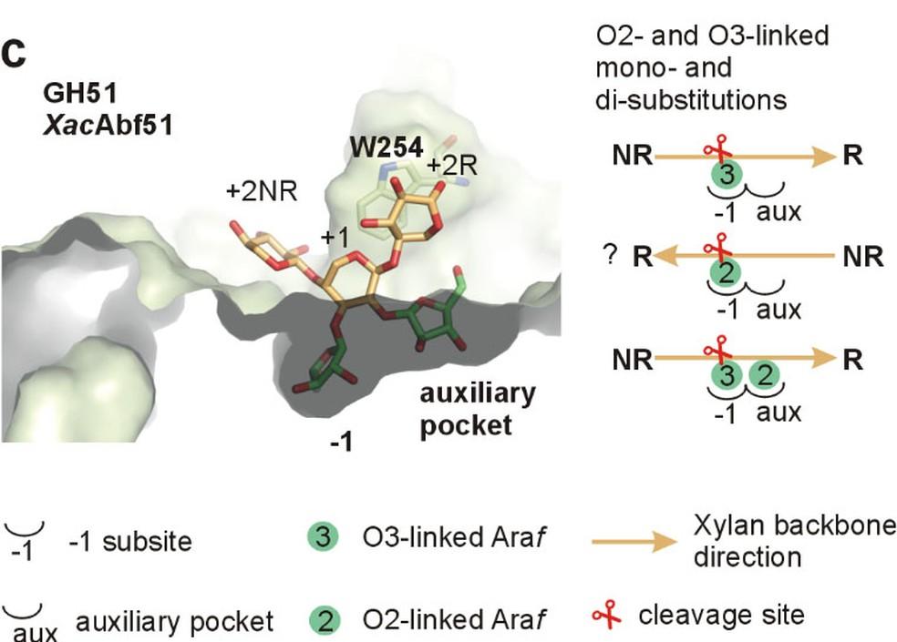 Enzima arabinofuranosidase generalista foi desenvolvida no CTBE, em Campinas (SP) — Foto: Reprodução/CTBE/CNPEM