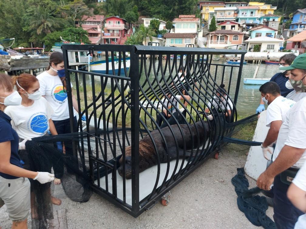 Leão-marinho é resgatado em comunidade de Florianópolis  — Foto: Nilson Coelho/R3 Animal