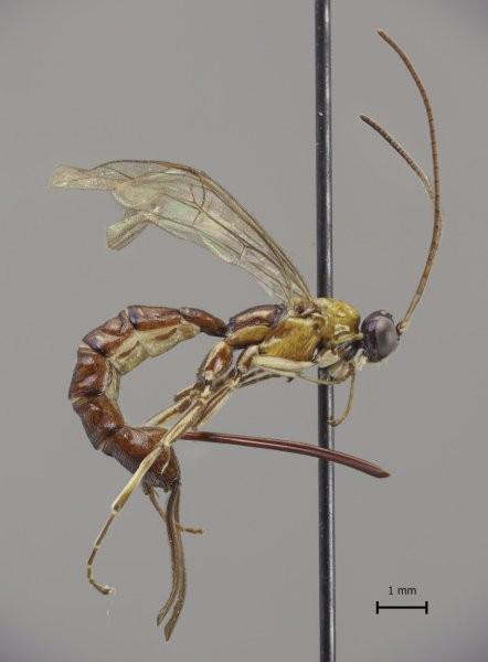 Clistopyga crassicaudata (Foto: Kari Kaunisto)