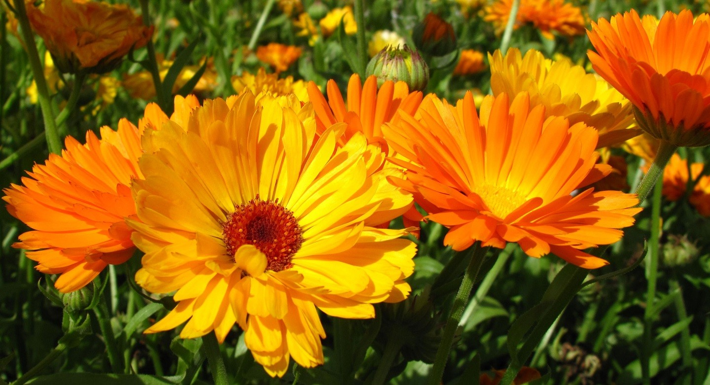 Field with calendula officinalis blossoms (Foto: Getty Images)