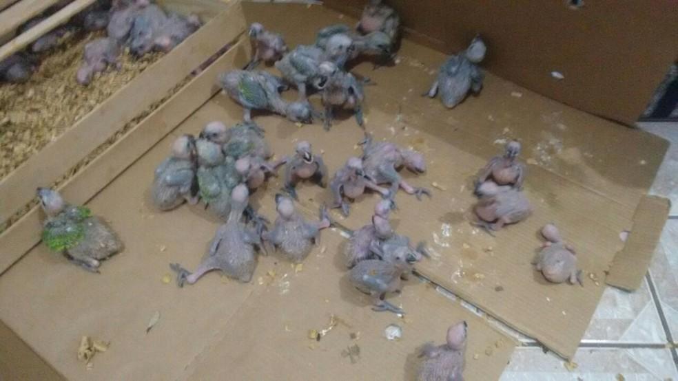 -  Filhotes de papagaios foram apreendidos em carro de passeio em MS  Foto: PMA/ Divulgação