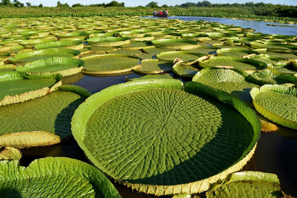 Vitórias-régias gigantes na lagoa Piquete Cue, no Paraguai; elas são conhecidas como Yakaré Yrupe em guarani (Foto: Norberto Duarte/AFP)