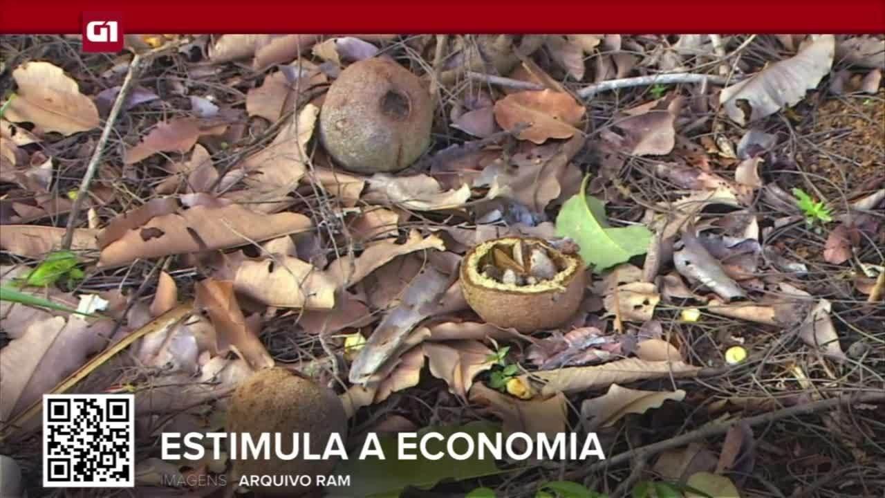 G1 em 1 Minuto RO: Cadeia da castanha estimula a economia e conservação da Amazônia