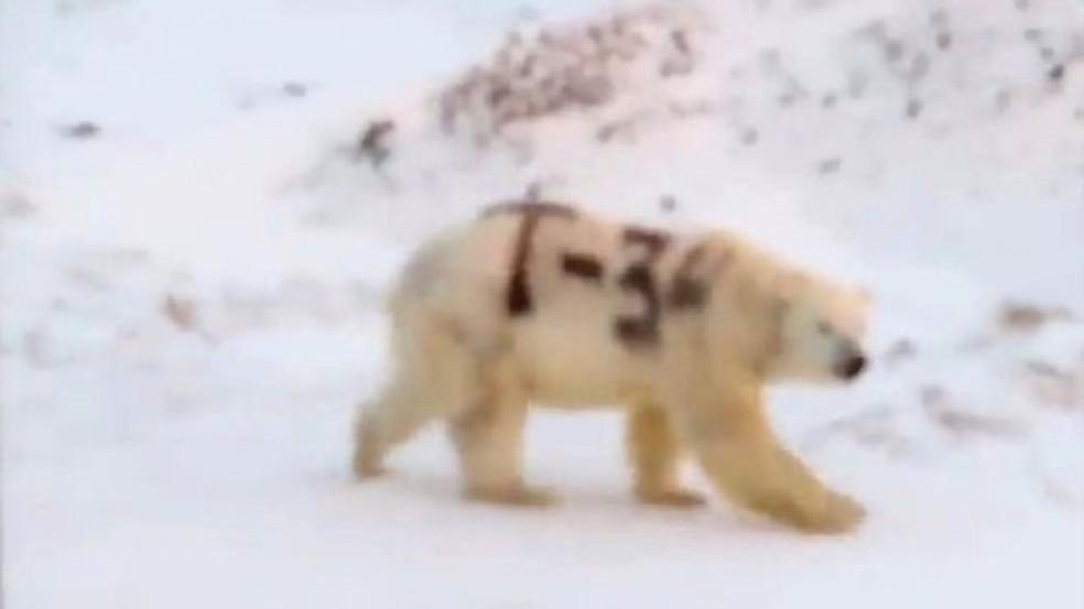Vídeo em circulação nas redes sociais mostra urso polar com pelo pichado; teme-se que isso dificulte a habilidade do urso de se camuflar e, consequentemente, de caçar alimentos — Foto: Sergei Kravy/Facebook/BBC