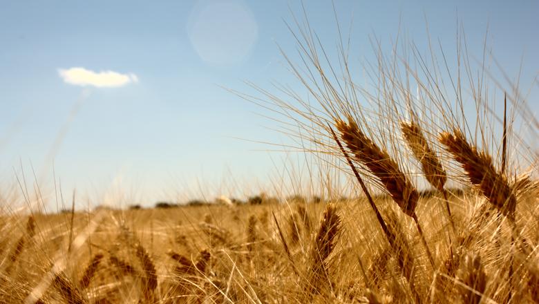 trigo-campo-cultura-de-inverno-cereal (Foto: Rafale Tovar/CCommons)