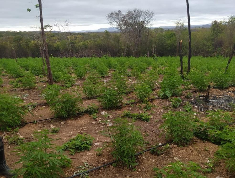 Plantação iria abastecer traficantes da Região Cariri e Centro-Sul do Ceará, afirma policial — Foto: Arquivo pessoal