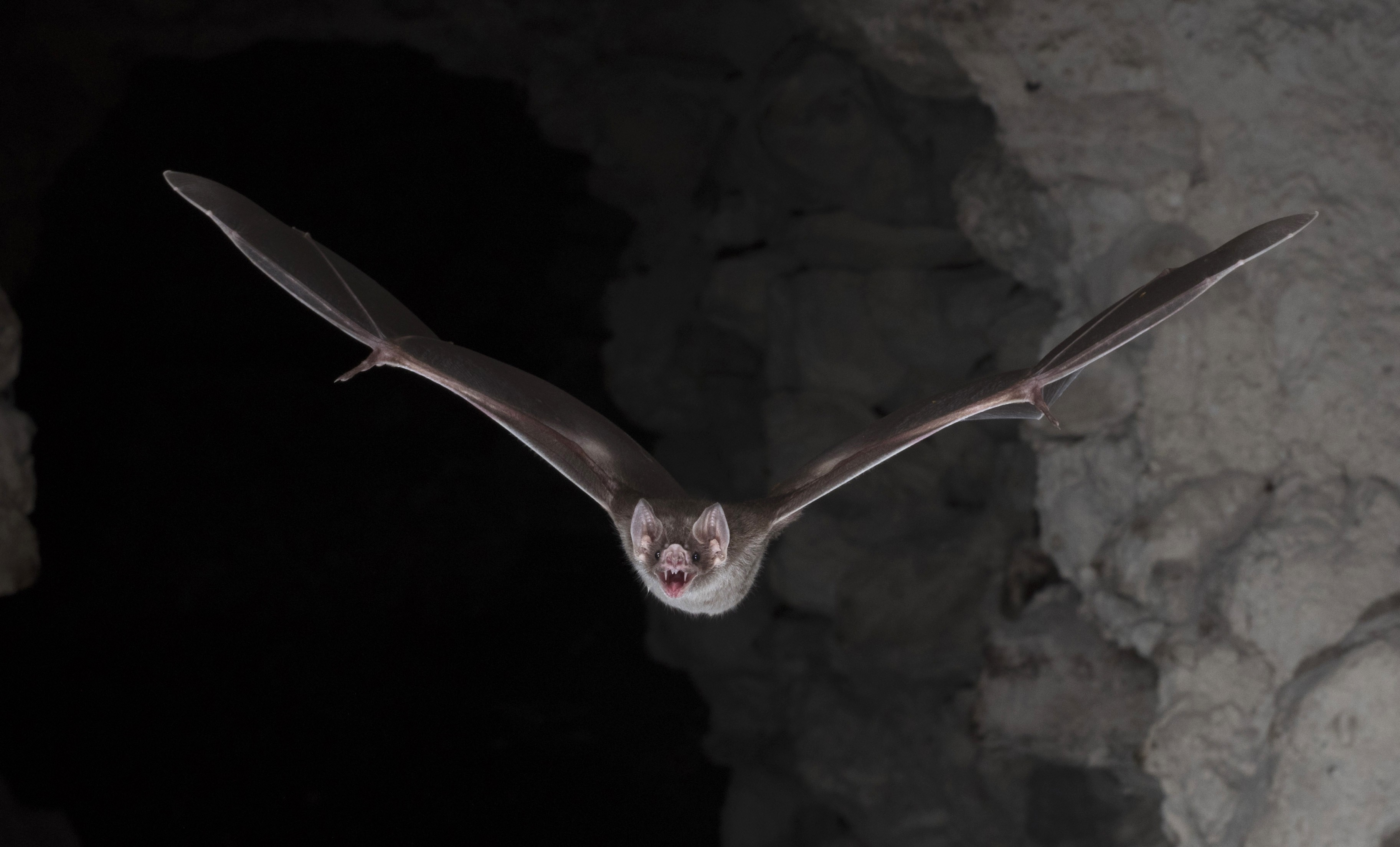 Os segredos dos morcegos 'vampiros' para conseguir viver só de sangue