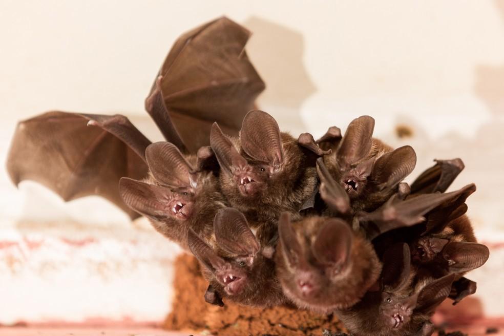 Morcegos são animais citados em contos e lendas — Foto: Edu Fortes