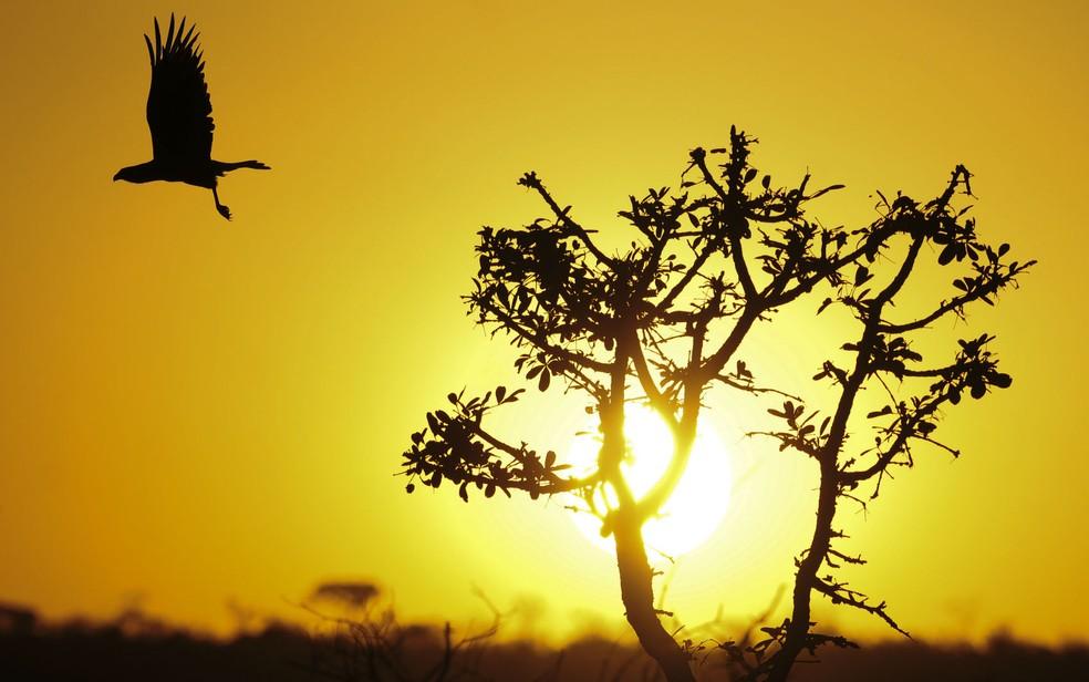 Carcará voa na Floresta Nacional de Brasília durante por do Sol — Foto: Pedro Ventura/Agência Brasília/Divulgação