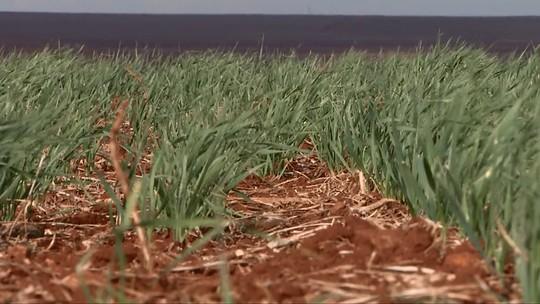 Falta de chuvas atrasa plantio em lavouras de trigo, no Paraná
