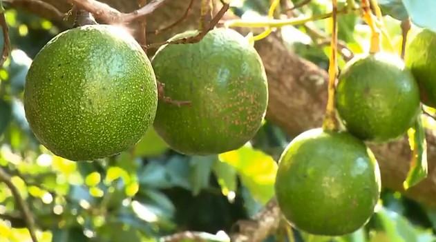 Paraná é o terceiro maior produtor de abacate do Brasil, aponta estudo