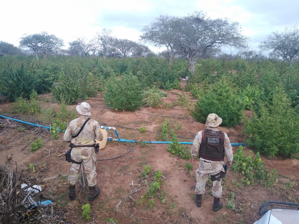 Três toneladas de maconha são achadas em Monte Santo, na Bahia — Foto: Divulgação/SSP-BA
